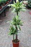 Plante d'intérieur - Plante pour la maison ou le bureau - Dracaena fragrans - Citron/citron vert, hauteur environ 90cm
