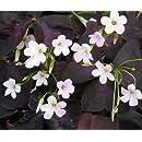 Rare 'Purple Rain' Shamrock Plant - Easy Houseplant - Oxalis - 4