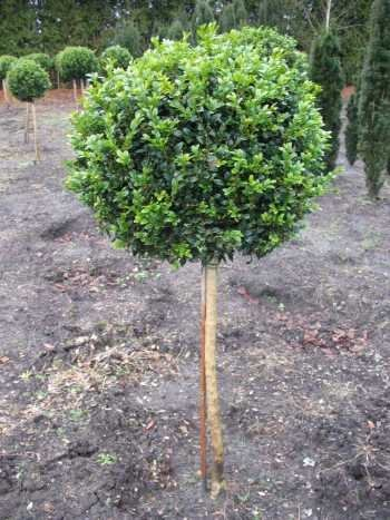 Buchsbaum Stamm Buxus sempervirens arborescens Stammhöhe 60 cm Krone 25 - 30 cm im 10 Liter Pflanzcontainer