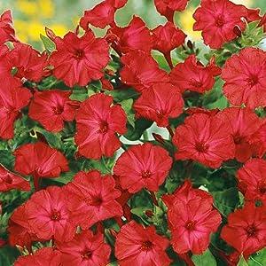Four O'Clock Seeds Red - 1/4 LB