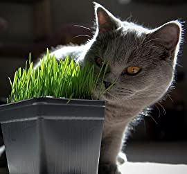 Catgrass (Sweet Oats for Cats) 900 Seeds - Herb