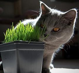 Catgrass (Sweet Oats for Cats) 900 Seeds - Herb