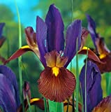 'Eye of the Tiger' Dutch Iris 20 Bulbs - Multiply Rapidly - 8/9 cm Bulbs