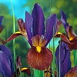 'Eye of the Tiger' Dutch Iris 20 Bulbs - Multiply Rapidly - 8/9 cm Bulbs