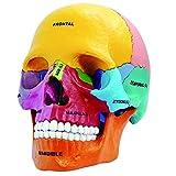 4D Vision Colorful Human Anatomical Models Didactic Exploded Skull Model