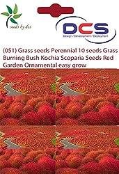 DCS (051)Grass seeds Perennial 10 seeds Grass Burning Bush Kochia Scoparia Seeds Red Garden Ornamental Easy Grow