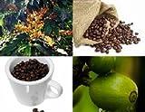 Coffee Seed Set, 3 varieties Coffea kona, arabica, catura for your plantation !!