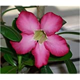 "Seedeo W�stenrose  (Adenium obesum) 8 Samenvon ""Seedeo"""
