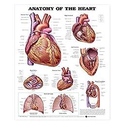 Anatomy of the Heart Anatomical Chart