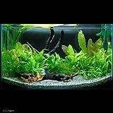 (水草 熱帯魚)シダ系レイアウトセット 60cm水槽用(1パック) 本州・四国限定[生体]