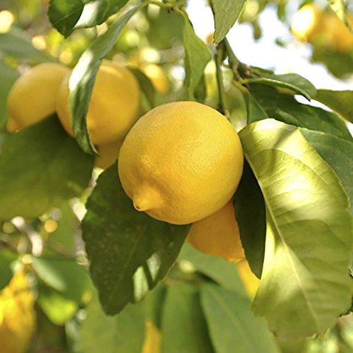 citrus-lemon-tree-12m-tall