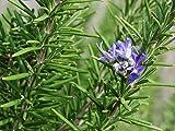 SOIL ME Rosemary Herb Seeds