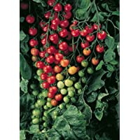 Supersweet 100 Cherry Tomato 4 Plants - Bite Sized Cherry Tomatoes