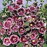 Hollyhock 'Creme de Cassis' / Alcea rosea / Seeds