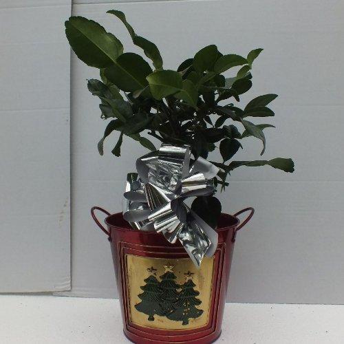 citrus-kaffir-lime-in-xmas-tree-pot