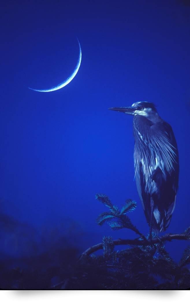 Heron and New Moon by Kurt Thorson