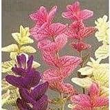 Herb Seeds - Sage Painted - 400 Seeds