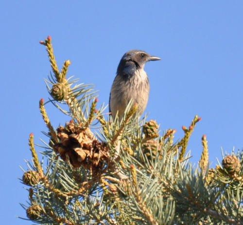 Colorado Pinyon Pine