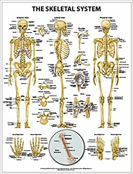 Difference Between Axial and Appendicular Skeleton