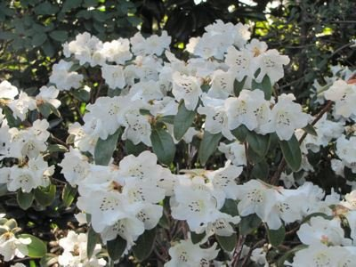 2-litre-pot-dwarf-rhododendron-snow-lady-agm-large-white-flowers-garden-shrub
