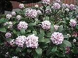 【6か月枯れ保証】【春に花が咲く木】ジンチョウゲ 0.1m