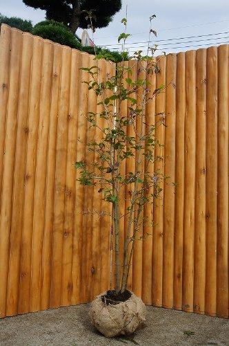 ヤマボウシ(株立ち)樹高1.5m前後 シンボルツリーに最適です♪
