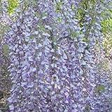 Wisteria floribunda 'Macrobotrys' 2 Litre Pot Size