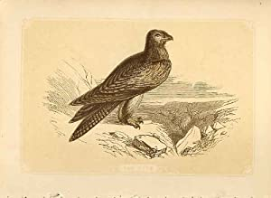 I Falchi d'Incisione Colorati dell'Uccello di Stile di Seppia dell'Aquilone 1860