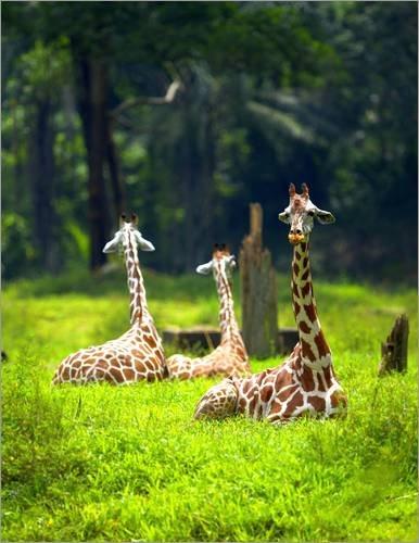 impression-sur-bois-90-x-120-cm-three-giraffe-rest-in-a-jungle-clearing-de-mervyn-dublin-national-ge