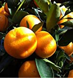 NP mart-30pcs Edible Fruit Mandarin Bonsai Tree Seeds, Citrus seed Bonsai Mandarin Orange Seeds