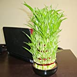 Pepper Agro 5-Layer Lucky Bamboo with Bowl