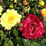 Masquerade Climbing Rose - Bare Root - Available Now - Great Gift Present
