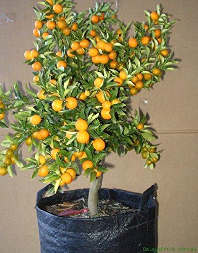 Kumquats the no need to peel citrus fruit plus bonus how for Plante kumquat