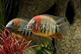 Wallmonkeys Peel and Stick Wall Decals - Heros Severum Sp. Rotkeil - 18