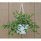 "Goldfish Plant - 6.5"" Hanging Basket - Blooms Constantly!"
