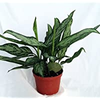 Silver Queen Chinese Evergreen Plant - Aglaonema - Low Light - 6