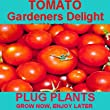 Pack of 12 Gardeners Delight Tomato Plug Plants - Grow Your Own Tomatos - Available Now - Small Cherry Tomatos