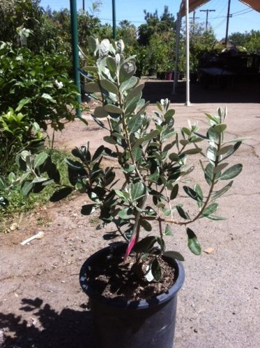 fruit-bearing-natemetz-pineapple-guava-bush-form-shipped-in-soil-five-gallon-container