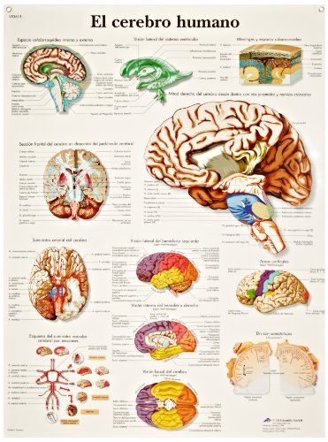 "3B Scientific Glossy Paper Human Brain Anatomical Chart, 20"" Width x 26"" Height (Multiple Language Options) - 1"