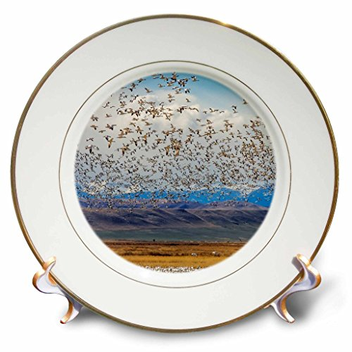 Danita Delimont - Birds - Snow geese during spring migration at Freezeout Lake, Montana, USA - 8 inch Porcelain Plate (cp_231106_1)