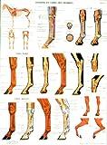 echange, troc ffe - Planche numéro 2 : tendons de cheval