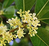 Sweet Olive Tea Tree, Osmanthus, Live Plant