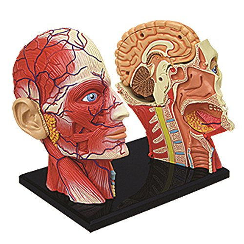 Anatomy of the head and brain