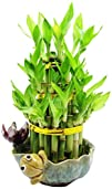 Set of 2 Live Cake layer Lucky Bamboo…