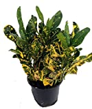 "Banana Croton - 4"" Pot - Colorful House Plant"
