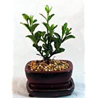 Chinese Gardenia Bonsai - Very Fragrant White Flowers