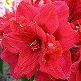 Amaryllis rouge double floraison - 1 bulbe de fleur