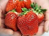 減農薬いちご 産地直送 とちおとめ(特) 4パック入約1.1kg ランキングお取り寄せ