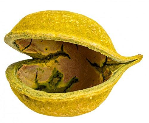 NaDeco® Buddha Nuss apfelgrün 10-15cm | Buddha Nut | Budha Nuss | Buddhanuts