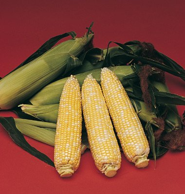 Sweet Corn Delectable D276A (Multi Color) 100 Seeds By David'S Garden Seeds